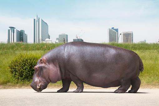 Hippopotamus「Hippopotamus walking on the ground」:スマホ壁紙(9)