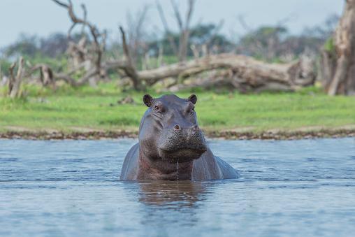 カバ「Hippopotamus swimming in remote water hole」:スマホ壁紙(9)