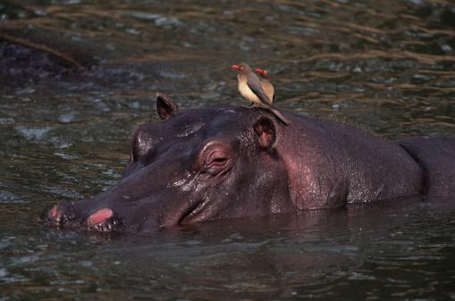 カバ「Hippopotamus (Hippopotamus amphibius) bathing in waterhole, Kenya」:スマホ壁紙(4)