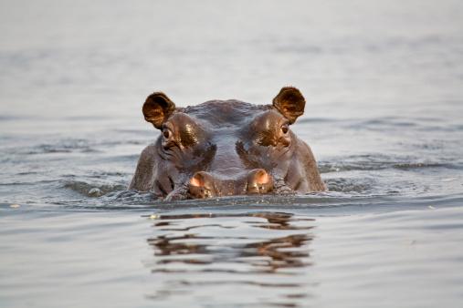 カバ「'Hippopotamus in water, close-up'」:スマホ壁紙(15)