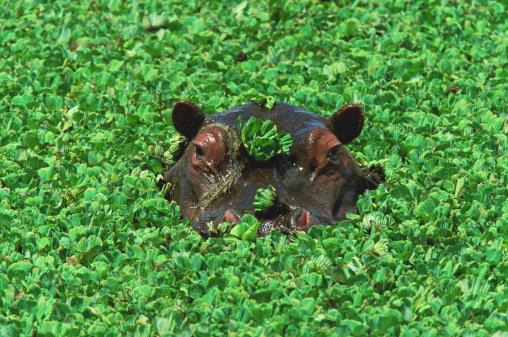 Hippopotamus「Hippopotamus (Hippopotamus amphibius) submerged in water」:スマホ壁紙(3)