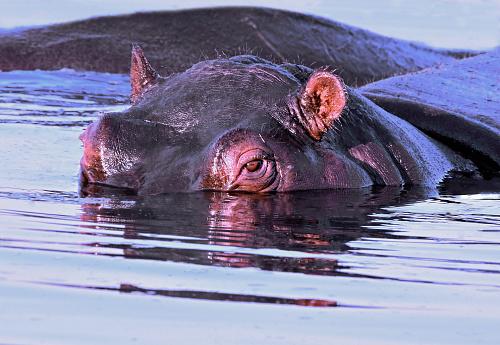 カバ「Hippopotamus in River, Okavango, Botswana」:スマホ壁紙(15)