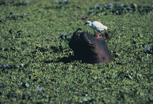 カバ「Hippopotamus (Hippopotamus amphibius) in reed with Egrets, Zambezi River」:スマホ壁紙(7)