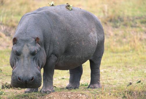 カバ「Hippopotamus (Hippoptamus amphibius) standing, Masai Mara N.R, Kenya」:スマホ壁紙(7)
