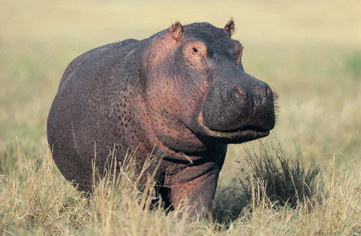 カバ「Hippopotamus (Hippopotamus amphibius) on land, Masai Mara, Kenya」:スマホ壁紙(12)