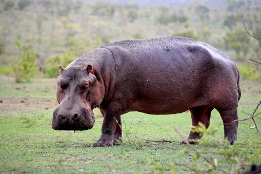 カバ「Hippopotamus, (Hippopatamus amphibius)」:スマホ壁紙(8)