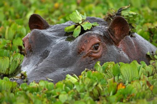 Hippopotamus「Hippopotamus (Hippopotamus amphibius)」:スマホ壁紙(3)
