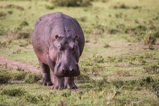 カバ「Hippopotamus (Hippopotamus amphibius), Masai Mara National Reserve, Kenya」:スマホ壁紙(10)