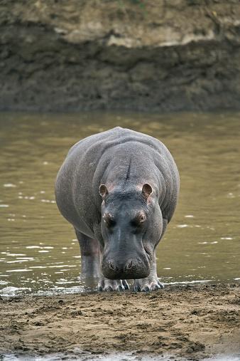 Hippopotamus「Hippopotamus (Hippopotamus amphibius) emerging from river」:スマホ壁紙(8)