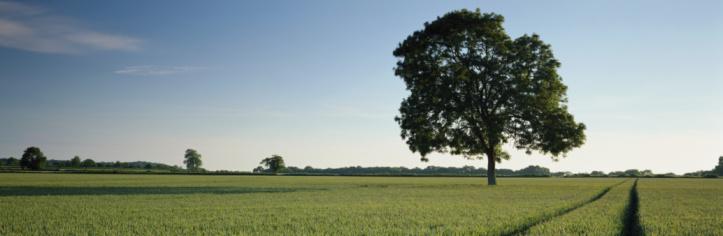 Single Tree「England, Somerset, tree growing in ripening cornfield」:スマホ壁紙(7)