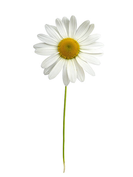 White daisy with stem:スマホ壁紙(壁紙.com)