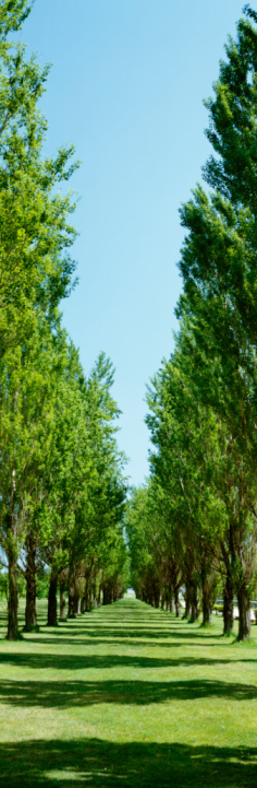 Avenue「Avenue line with poplar trees, Sapporo, Hokkaido, Japan」:スマホ壁紙(14)