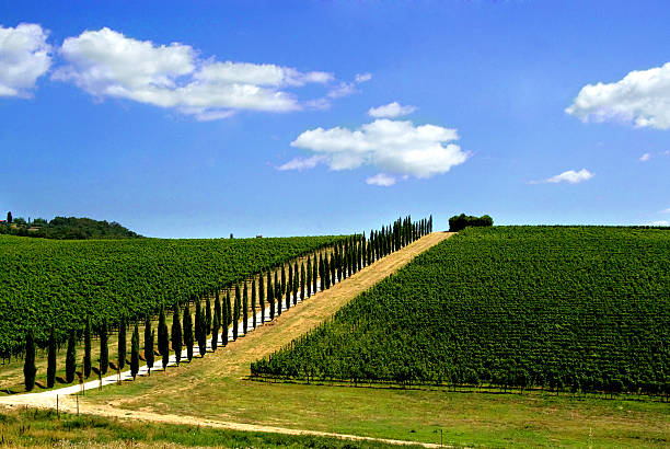 Avenue lined with cypress trees by a Tuscan vineyard, Italy:スマホ壁紙(壁紙.com)