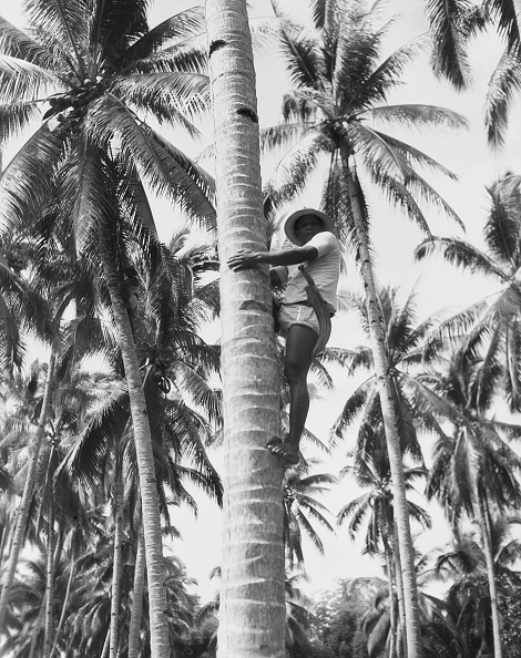 Charles Phelps Cushing「Coconut harvest」:写真・画像(5)[壁紙.com]