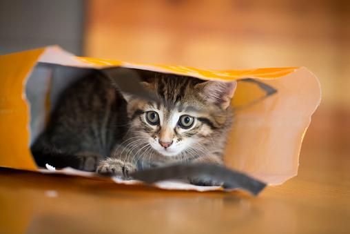 Kitten「Young tabby cat lying in a paper bag」:スマホ壁紙(8)