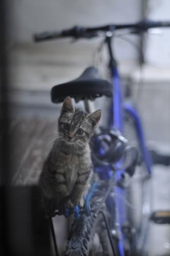 Kitten「Young tabby cat sitting on a blue bike」:スマホ壁紙(13)