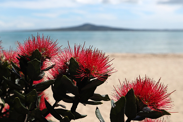 Auckland「Flowering Pohutukawa Trees Signal Start Of Summer and Christmas In New Zealand」:写真・画像(2)[壁紙.com]