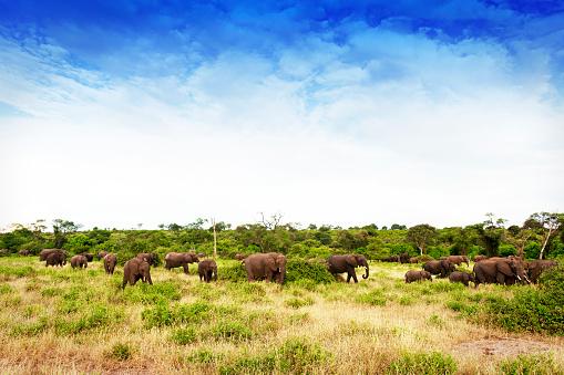 Poaching - Animal Welfare「Herd of African elephants walking in a wildlife reserve in Zimbabwe」:スマホ壁紙(15)