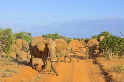 Elephant「Herd of African elephants (Loxodonta africana) crossing dirt road」:スマホ壁紙(10)