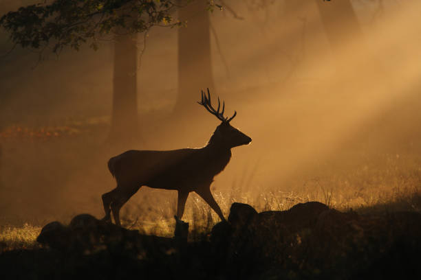 Deer walking through sunbeams:スマホ壁紙(壁紙.com)