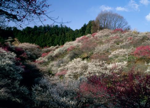 梅の花「Yoshino Baigo Park, Ome, Tokyo, Japan」:スマホ壁紙(0)