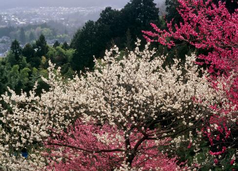 梅の花「Yoshino Baigo Park, Ome, Tokyo, Japan」:スマホ壁紙(1)