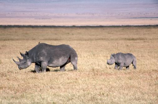Ngorongoro Crater「Black rhinoceros mother and baby」:スマホ壁紙(15)