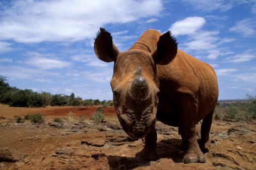 Poaching - Animal Welfare「Black Rhino」:スマホ壁紙(4)