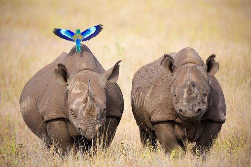 Rhinoceros「Black Rhinoceros (Diceros bicornis)」:スマホ壁紙(16)