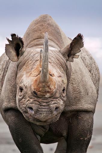 Horned「Black Rhinoceros. (Diceros bicornis) Portrait of adult bull. Lake Nakuru National Park Kenya.」:スマホ壁紙(17)