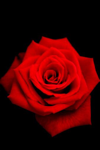 flower「Red rose」:スマホ壁紙(10)