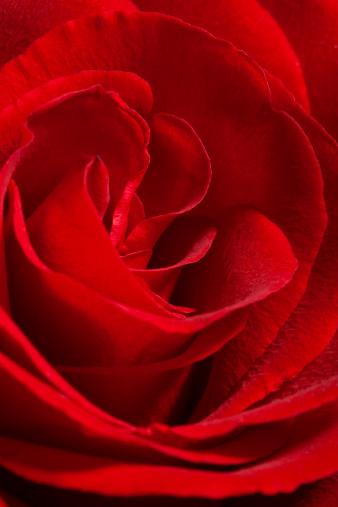 薔薇「赤いローズ」:スマホ壁紙(2)