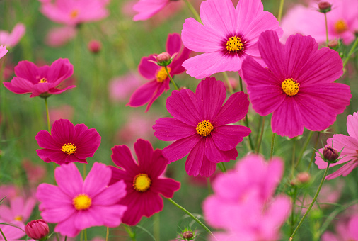 コスモス「カラフルな花」、「Cosmos 」」:スマホ壁紙(7)
