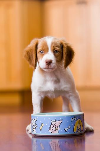 Hungry「Brittany spaniel puppy with food bowl」:スマホ壁紙(9)