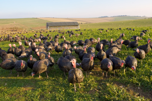 Females「Organic Free-Range Turkeys, UK」:スマホ壁紙(5)