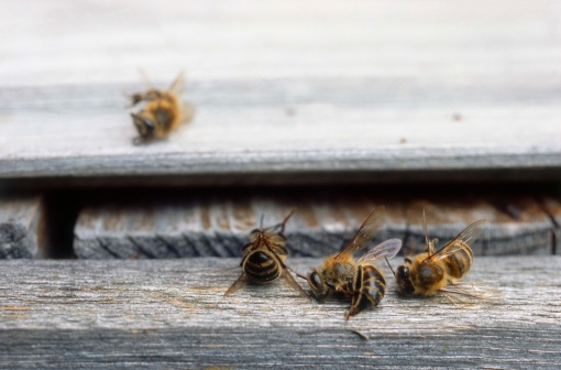 Insecticide「Dead bees at entrance of hive」:スマホ壁紙(4)