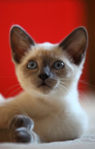 シャムネコ「Siamese kitten」:スマホ壁紙(16)