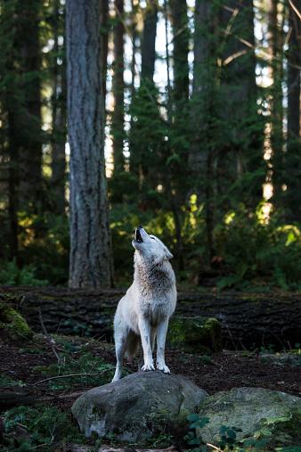 Animal Call「White wolf howling」:スマホ壁紙(11)