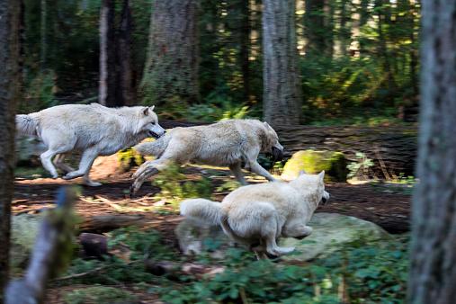 Animals Hunting「White Wolf running」:スマホ壁紙(18)
