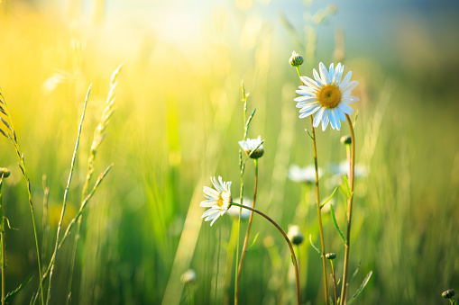 Shallow「Meadow and spring Daisy Flowers on out of focus background」:スマホ壁紙(10)