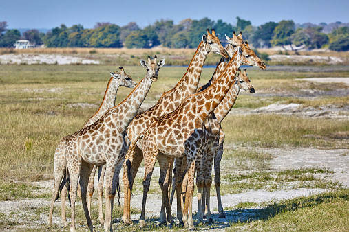 Giraffe「Giraffes on flood plains beside Chobe River」:スマホ壁紙(17)