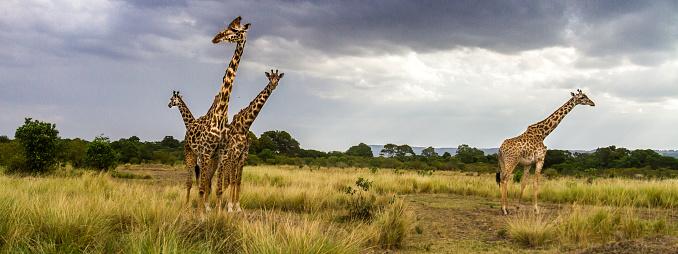 Giraffe「Giraffes on the plains」:スマホ壁紙(15)
