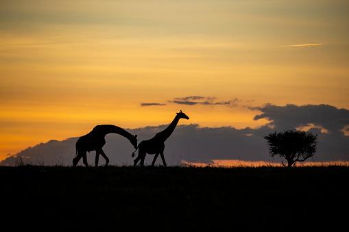 Giraffe「Giraffes on Savanna, Masai Mara Game Reserve, Kenya, Africa」:スマホ壁紙(1)