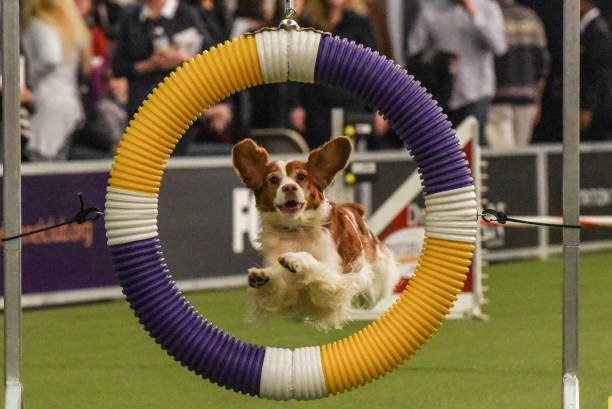 Westminster Kennel Club Holds Agility Championship Ahead Of Its Annual Dog Show:ニュース(壁紙.com)