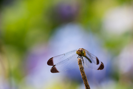 Dragonfly「Sympetrum infuscatum on a branch」:スマホ壁紙(14)