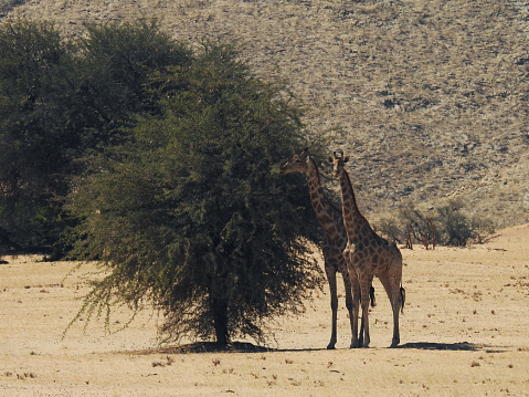 Giraffe「Desert giraffe in the Hoanib river」:スマホ壁紙(5)