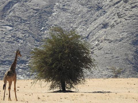 Giraffe「Desert giraffe in the Hoanib river」:スマホ壁紙(8)