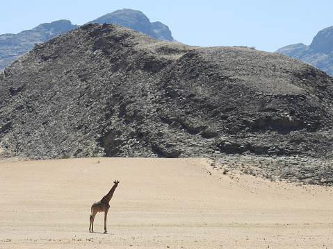 キリン「Desert giraffe in the Hoanib river」:スマホ壁紙(6)