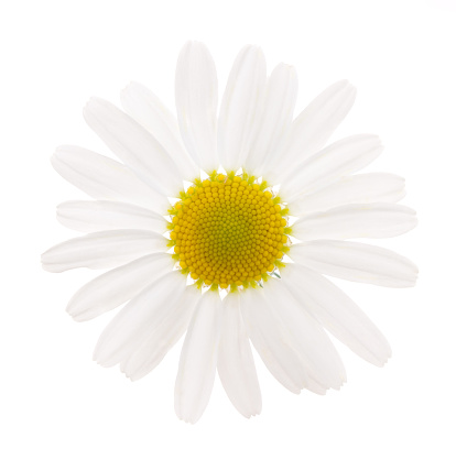 Chrysanthemum「Camomile」:スマホ壁紙(10)