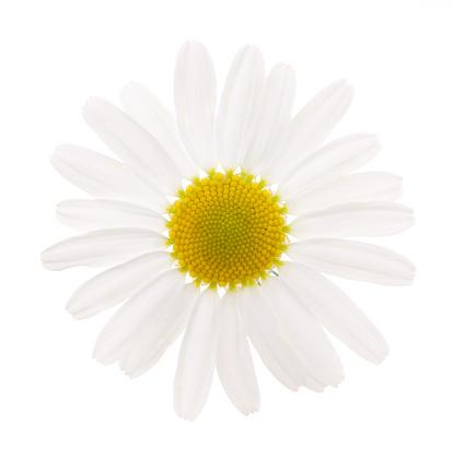 Marguerite - Daisy「Camomile」:スマホ壁紙(19)